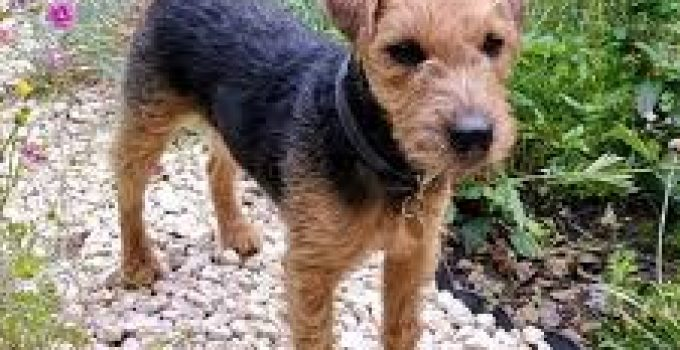 Best Dog Shampoo For Lakeland Terriers