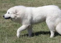 Best Dog Toys For Great Pyrenees