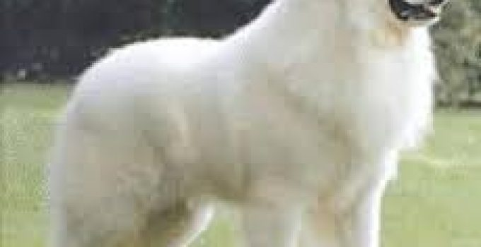 Best Puppy Food For Great Pyrenees