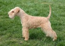5 Best Puppy Foods for Lakeland Terriers (Reviews Updated 2021)