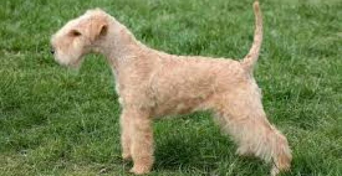 Best Puppy Food For Lakeland Terriers