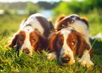Dog Beds For Welsh Springer Spaniels