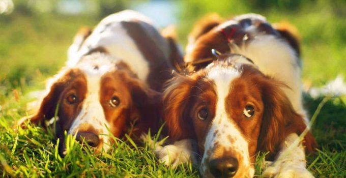 Dog Beds For Welsh Springer Spaniels