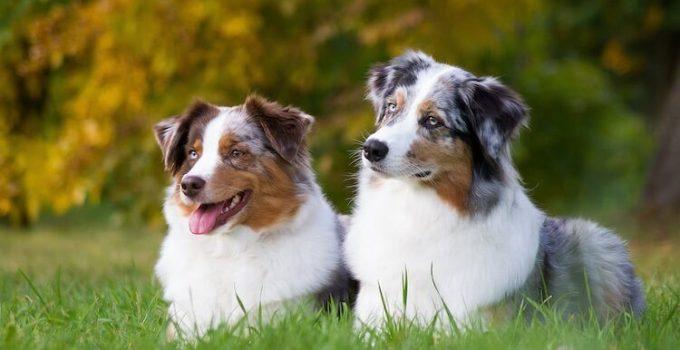 Dog Brushes For Miniature American Shepherds