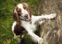 5 Best Dog Brushes for Welsh Springer Spaniels (Reviews Updated 2021)