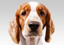 5 Best Dog Collars for Welsh Springer Spaniels (Reviews Updated 2021)