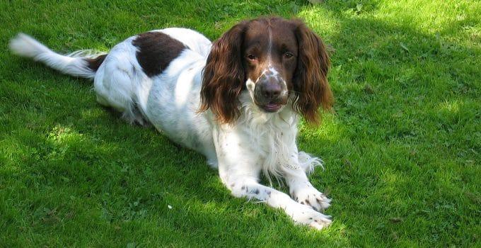 Dog Crates For Welsh Springer Spaniels