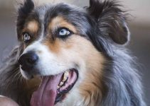 Dog Foods For Miniature American Shepherds