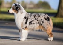 Dog Harnesses For Miniature American Shepherds