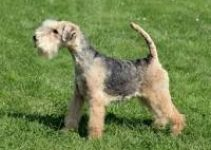 5 Best Dog Foods for Lakeland Terriers (Reviews Updated 2021)