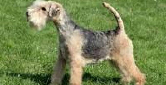 Lakeland Terriers