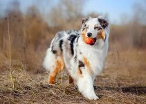 Dog Toys for Miniature American Shepherds