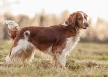 Puppy Foods For Welsh Springer Spaniels