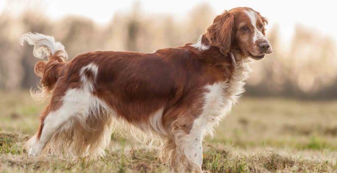 Puppy Foods For Welsh Springer Spaniels