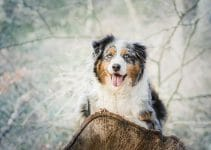 5 Best Puppy Foods for Miniature American Shepherds (Reviews Updated 2021)