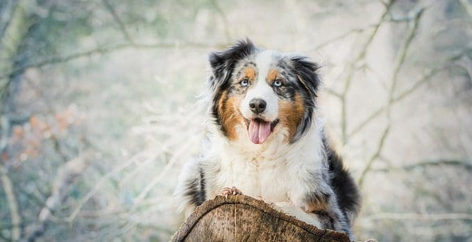 5 Best Puppy Foods for Miniature American Shepherds