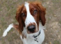 United Kingdom Cadmore End Dog Welsh Springer Spaniel