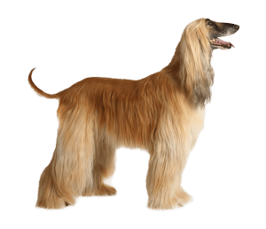 10 Best Activities For Afghan Hounds