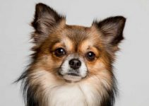 10 Best Activities For Chihuahuas