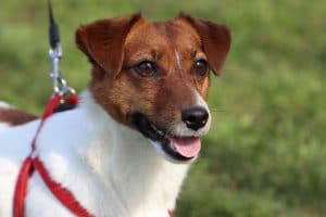 10 Best Activities For Jack Russell Terriers