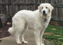 10 Best Activities For Great Pyrenees
