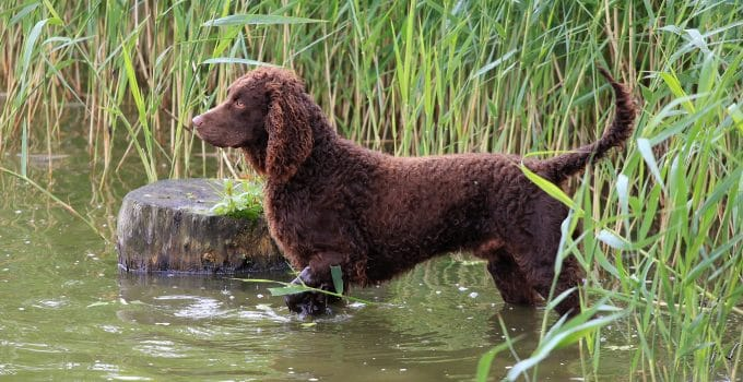 5 Best Dog Beds For American Water Spaniels