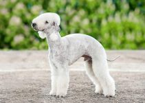 5 Best Dog Beds for Bedlington Terriers (Reviews Updated 2021)