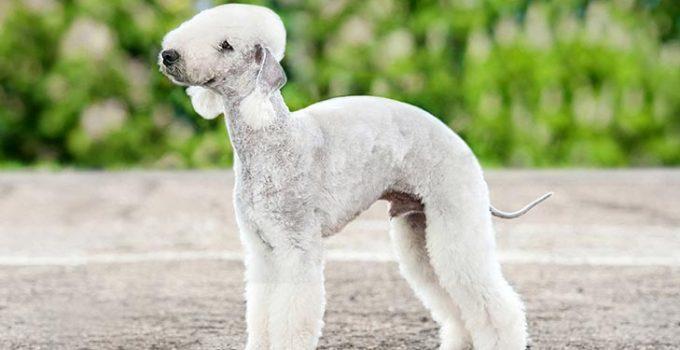 5 Best Dog Beds For Bedlington Terriers