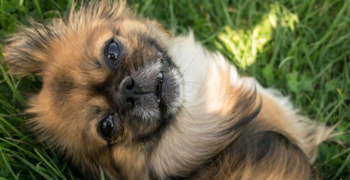 5 Best Dog Beds For Tibetan Spaniels