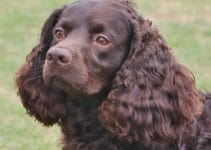 5 Best Dog Brushes for American Water Spaniels (Reviews Updated 2021)