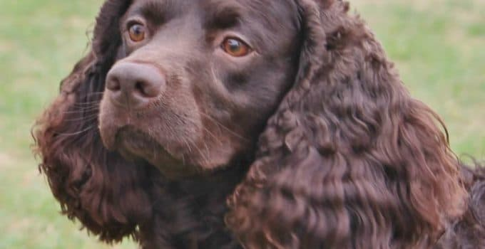 5 Best Dog Brushes For American Water Spaniels