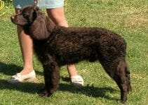 5 Best Dog Collar For American Water Spaniels