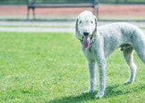 5 Best Dog Collars for Bedlington Terriers (Reviews Updated 2021)