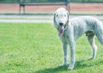 5 Best Dog Collars For Bedlington Terriers