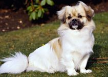 5 Best Dog Collars For Tibetan Spaniels