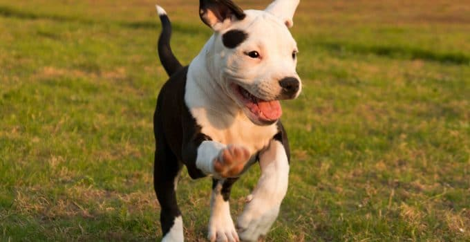 5 Best Dog Crates For American Staffordshire Terriers