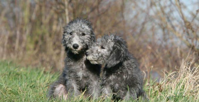 5 Best Dog Crates For Bedlington Terriers