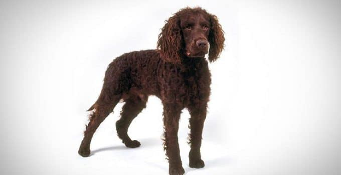 5 Best Dog Foods For American Water Spaniels