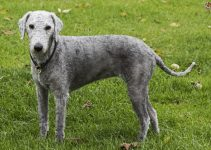 5 Best Dog Foods For Bedlington Terriers