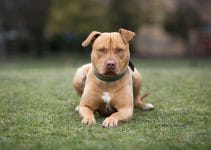 5 Best Dog Harnesses For American Staffordshire Terriers