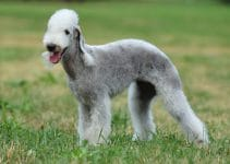 5 Best Dog Harnesses For Bedlington Terriers