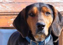 5 Best Dog Harnesses for Treeing Walker Coonhounds (Reviews Updated 2021)