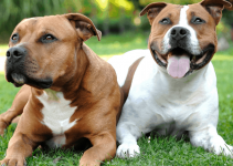 5 Best Dog Shampoos for American Staffordshire Terriers (Reviews Updated 2021)