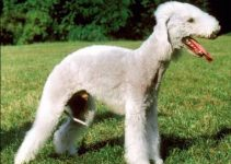 5 Best Dog Shampoos for Bedlington Terriers (Reviews Updated 2021)