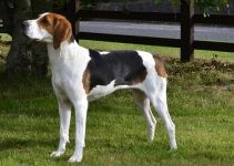 5 Best Dog Shampoos for Treeing Walker Coonhounds (Reviews Updated 2021)