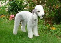 5 Best Dog Toys For Bedlington Terriers
