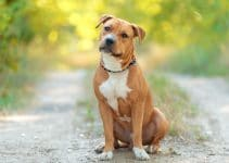 5 Best Dog Training Books for American Staffordshire Terriers (Reviews Updated 2021)