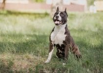 5 Best Puppy Foods For American Staffordshire Terriers