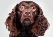 5 Best Puppy Foods for American Water Spaniels (Reviews Updated 2021)