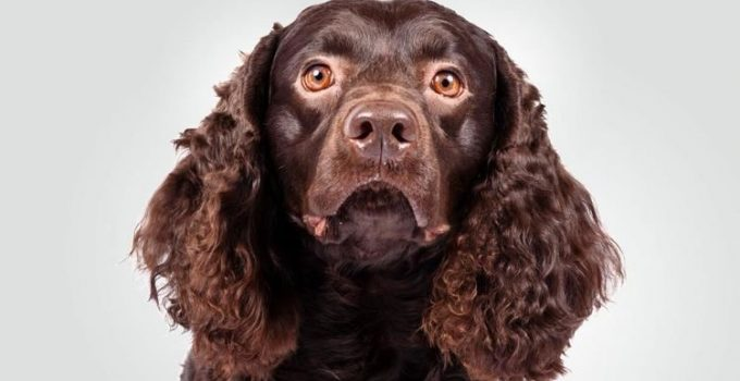 5 Best Puppy Foods For American Water Spaniels